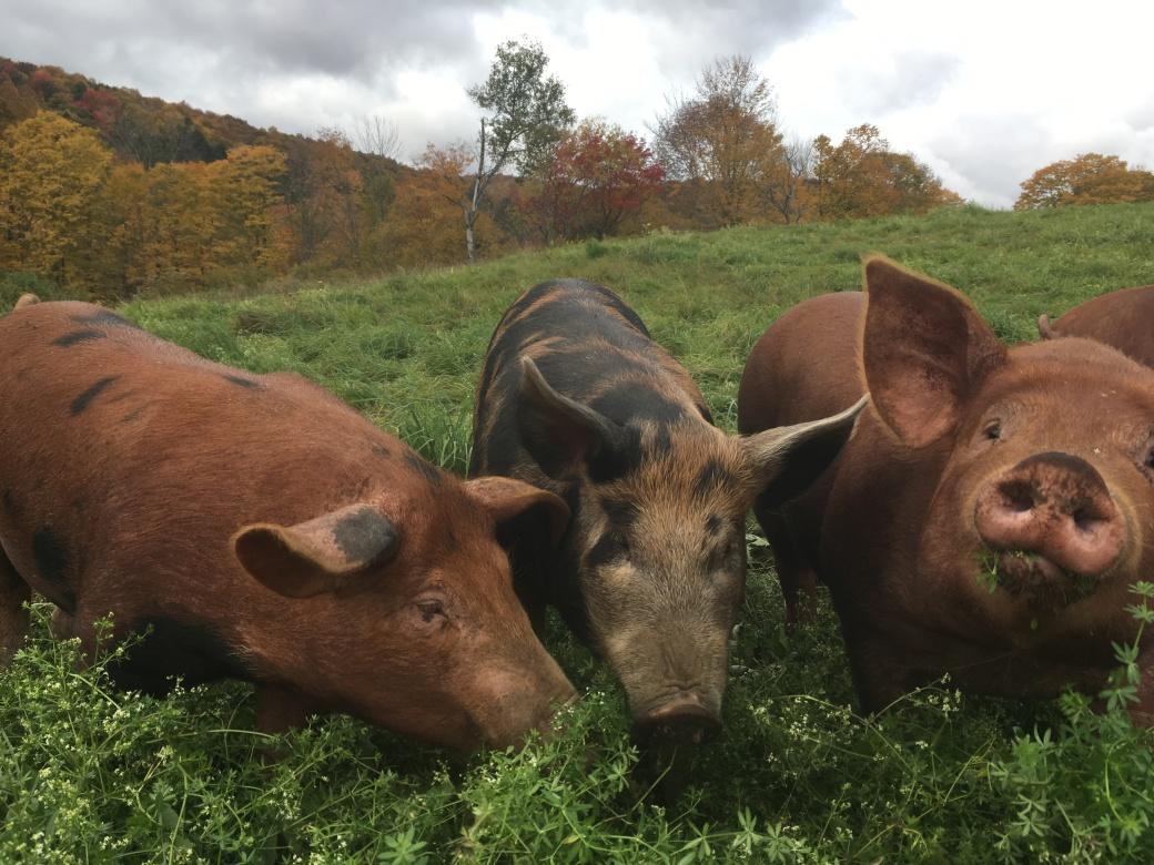 pastured-pork